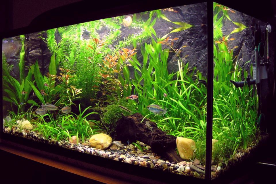 Stocking Ideas For 29 To 38 Gallons Fishtank Aquarium Fish Plants Com