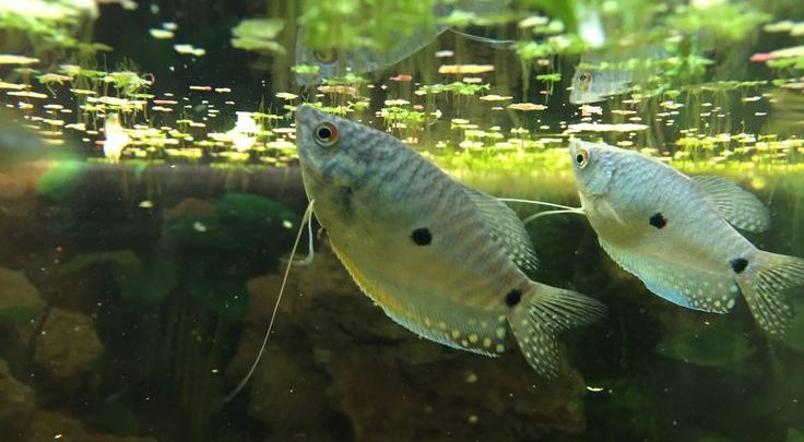Gouramis in the 120 gallons aquarium