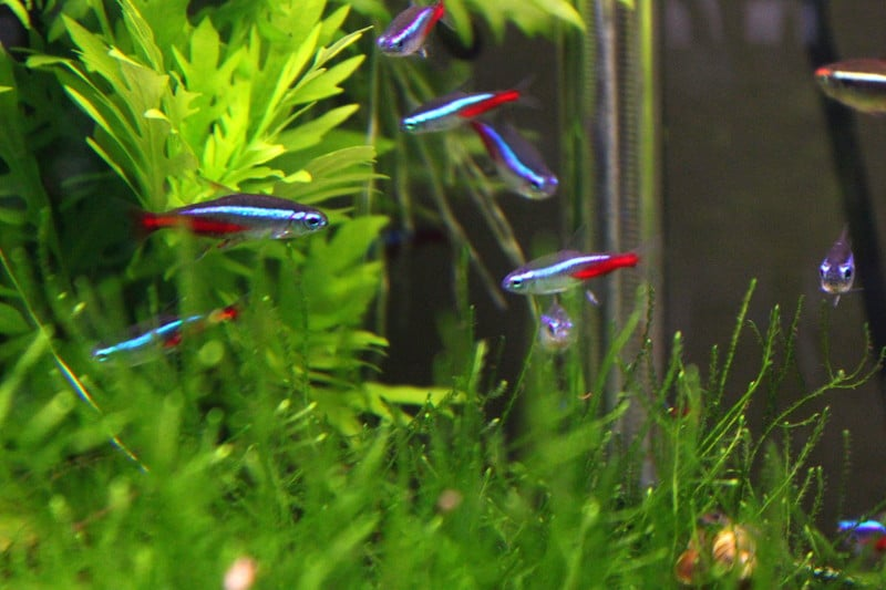 Schwarm Neonsalmler (Neontetra) im Aquarium