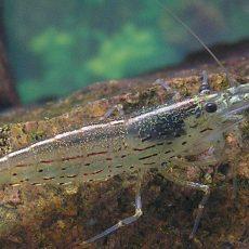 Amanogarnelen im Aquarium