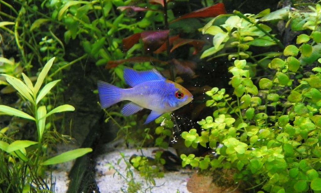 Ramirezi Electric Blue im Aquarium