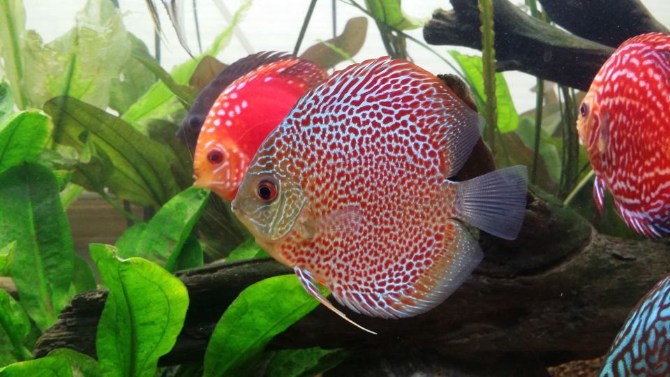Discus in the 120 gallons Aquarium