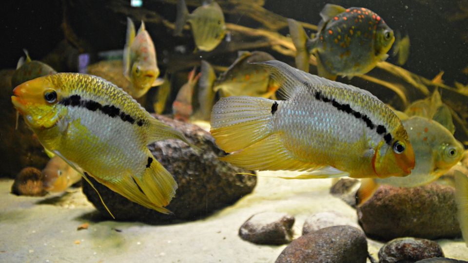 Cichlids in the 120 gallons fishtank