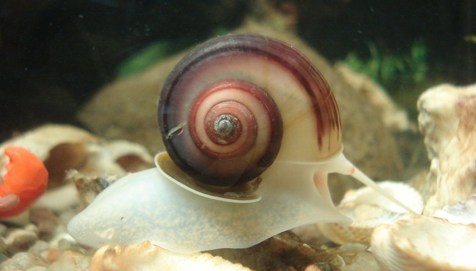 Ramshorn Snail in the nano fishtank