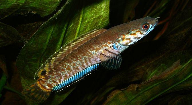 Rainbow snakeheads in the 120 gal Aquarium