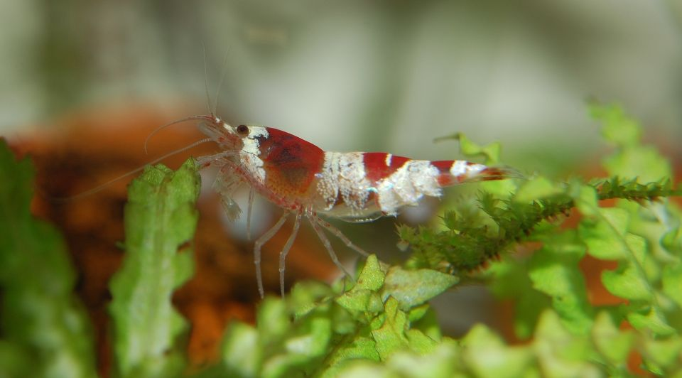 dwarf shrimp in the Nano-Aquarium