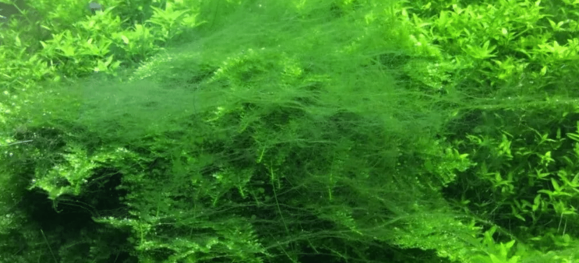 Bearded algae and how to fight them