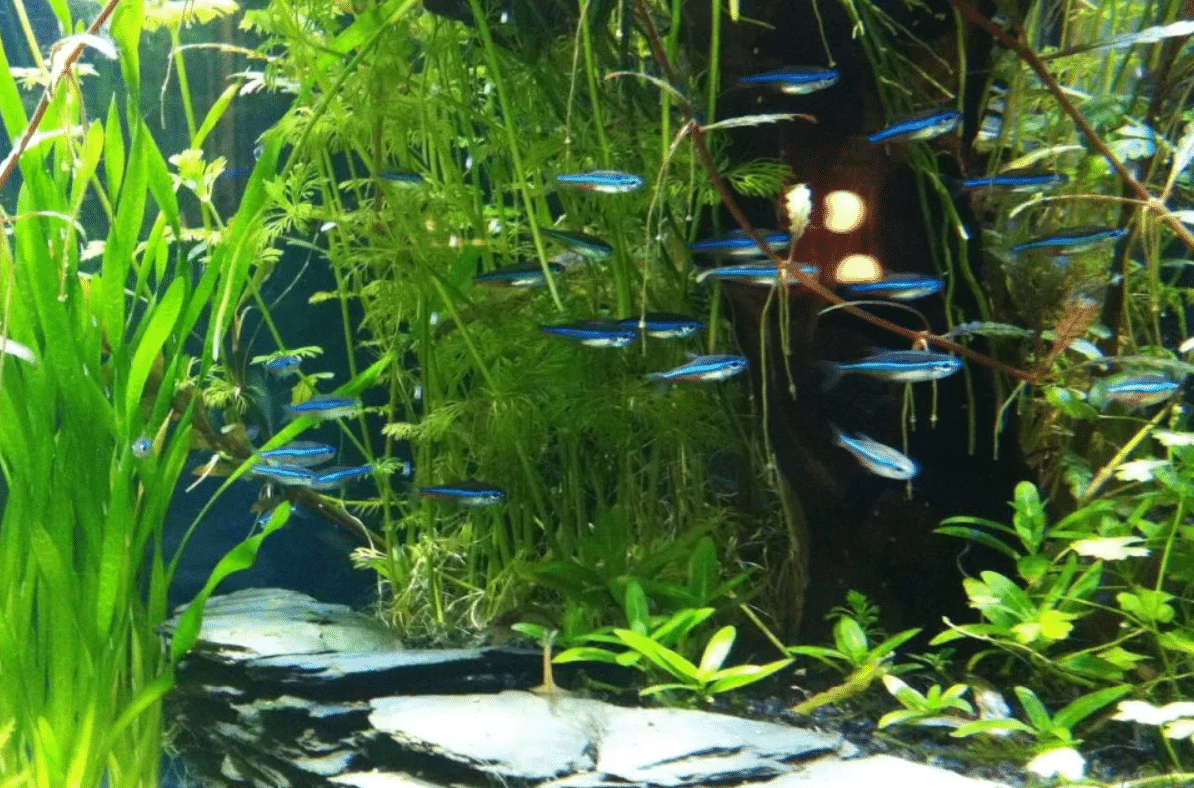 blue neons in the aquarium