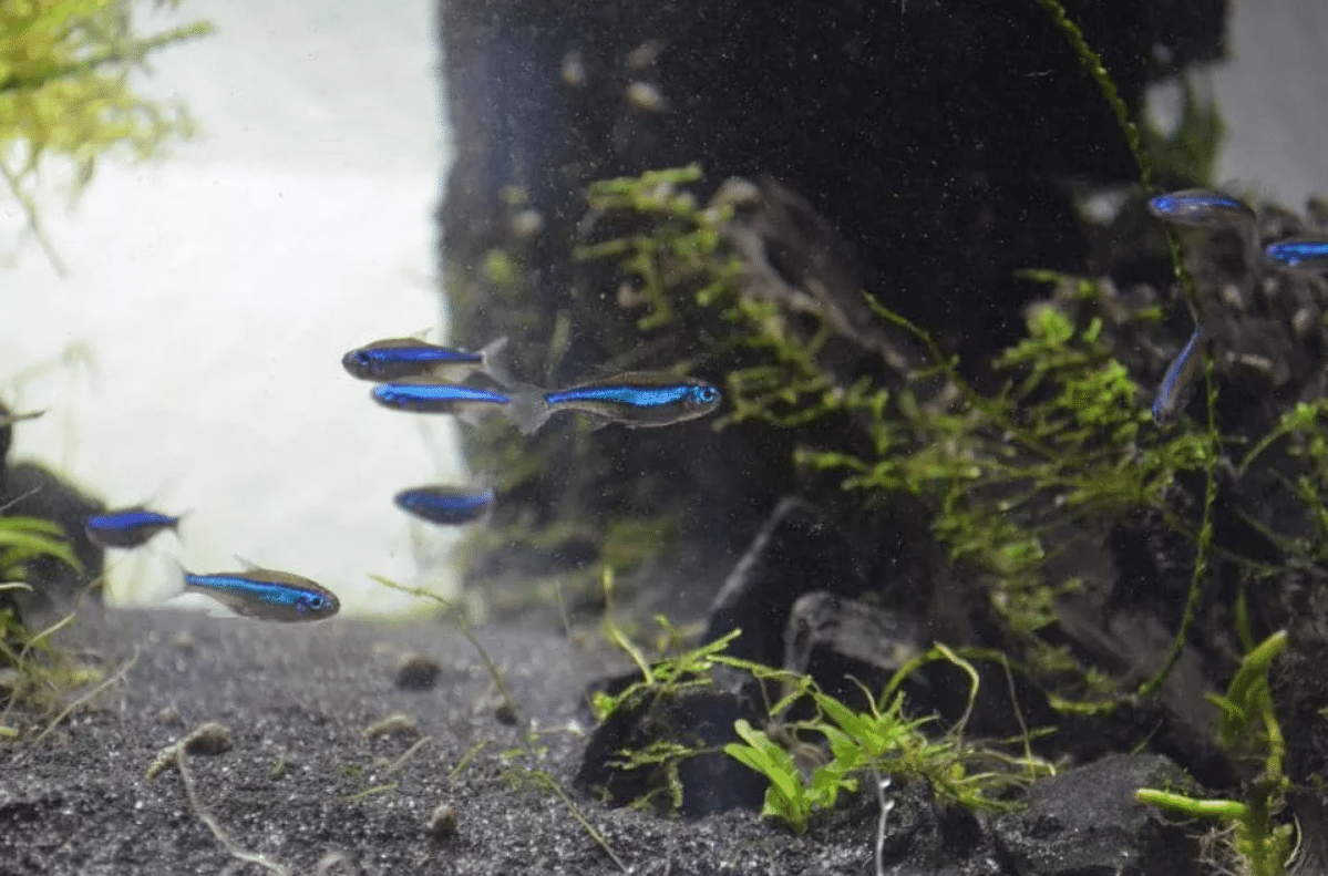 Keeping blue neons in the aquarium