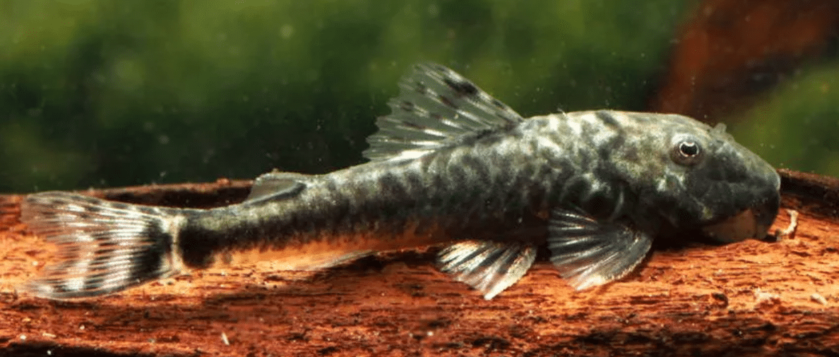 Which catfish can you keep in a 54  litre aquarium