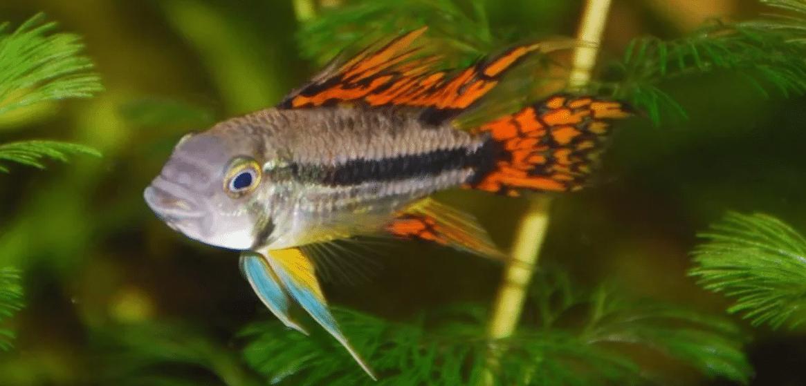Cockatoo cichlids in the aquarium
