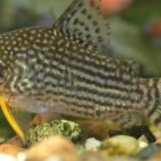 How many armor catfish for your aquarium?