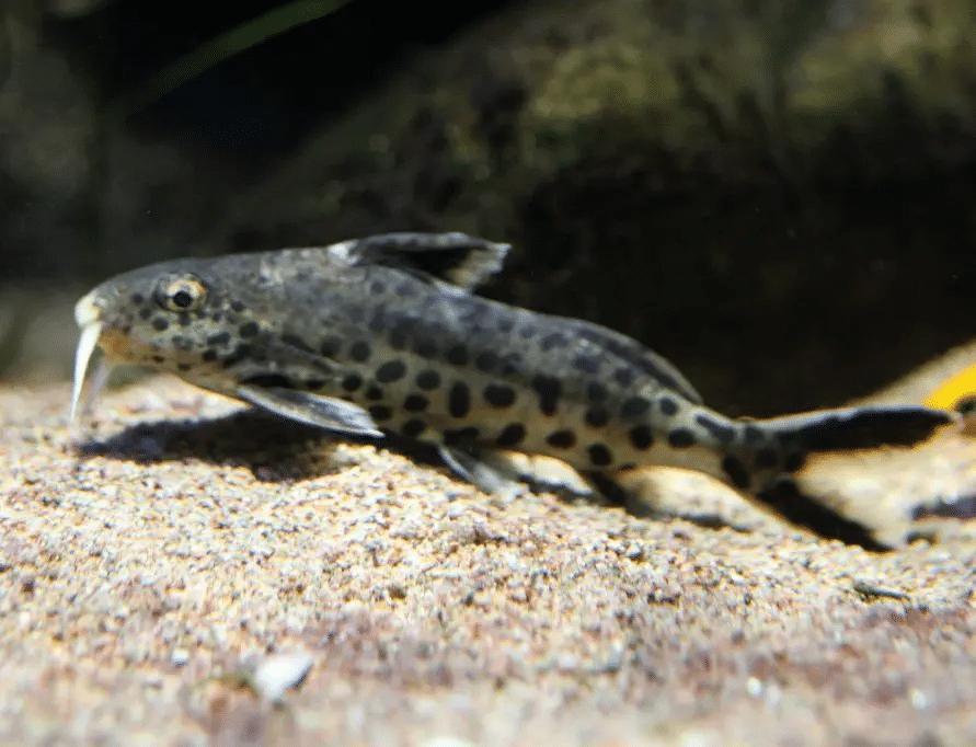 Pesce gatto barbuto pennuto nano