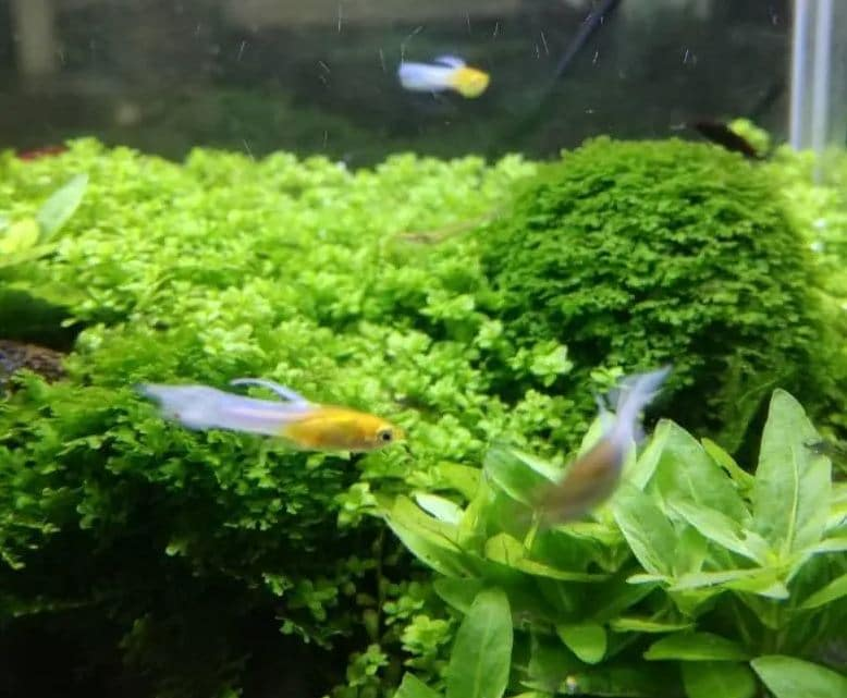 Endler Guppies in the aquarium