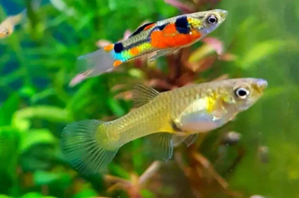 Endler Guppies food habit
