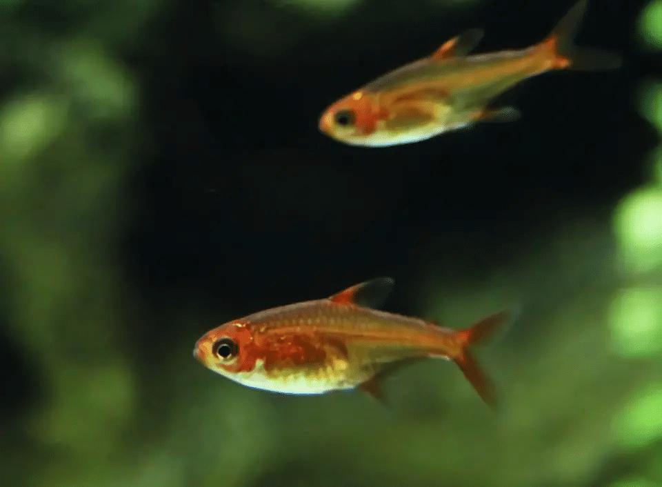 Ile Ember Tetra trzyma w akwarium