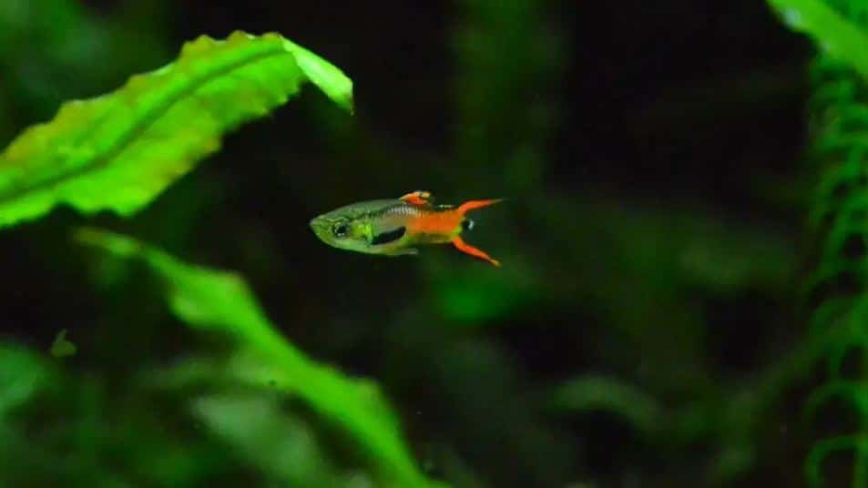 Keep Endler Guppies in the Aquarium