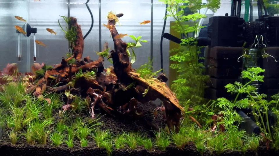 akwarium dla Ember Tetra