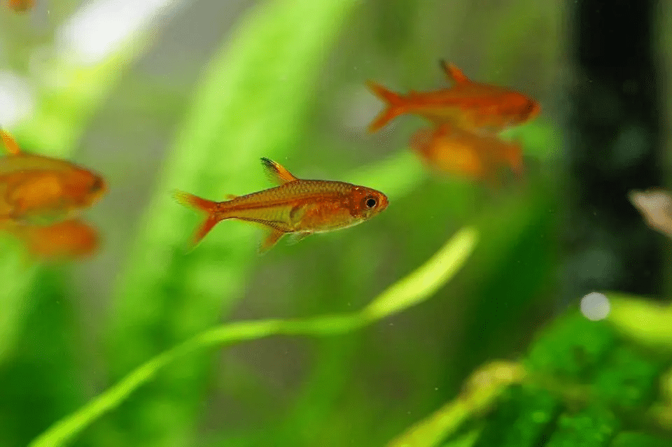 group of adult tetras