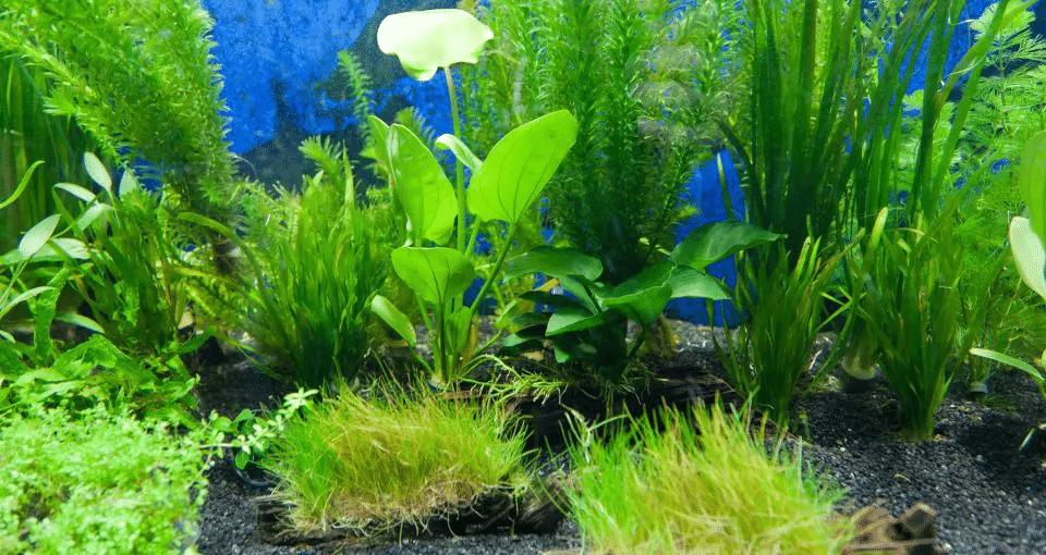 mocno sadzone akwarium dla Ember Tetra