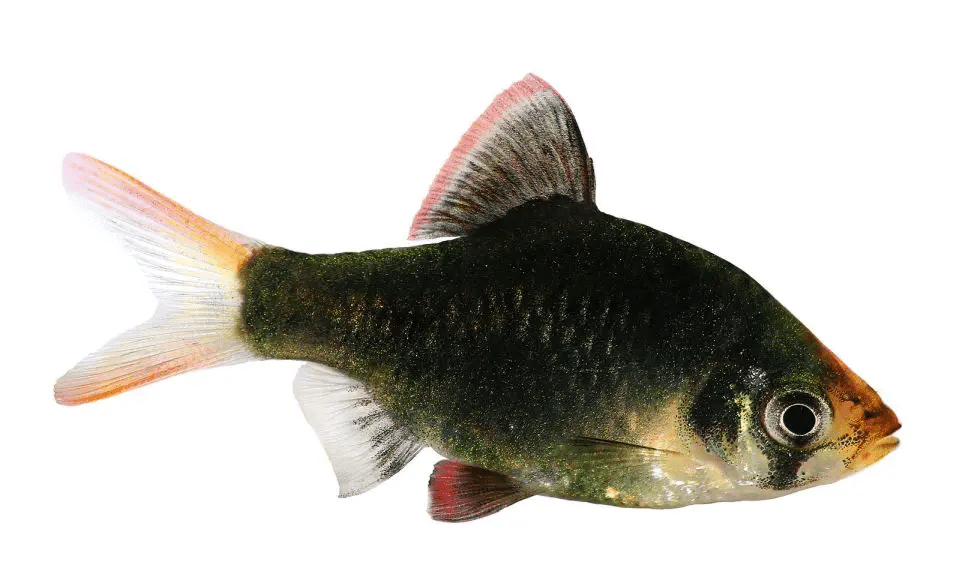 moss barb female