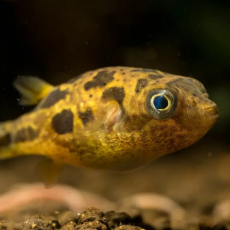 Keeping Pea Puffer Fish in the Aquarium – This is How it Works