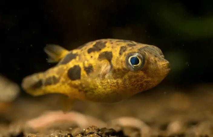 μπιζέλι ψάρι