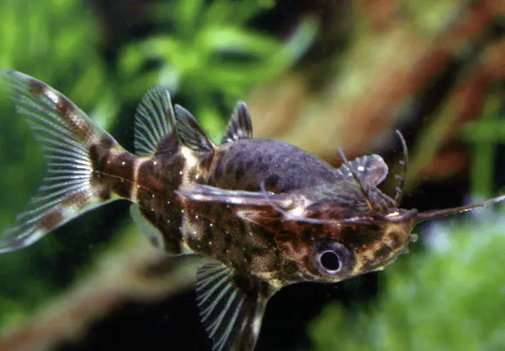 qualità dell'acqua per il pesce gatto dalla barba piuma
